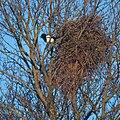 European magpie in a tree.jpg