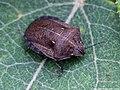 Eurygaster maura 03.JPG