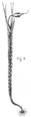 Eustichium Norvegicum - Fig-6.png