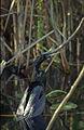 Everglades19(js)-Anhinga.jpg