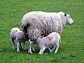 Ewe and lambs (33685339994).jpg