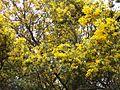Explosion of yellow (4158664212).jpg