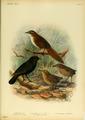 Extinctbirds1907 P5 Traversia lyalli0289.png