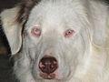 Eyes of a lethal white Australian Shepherd.jpg
