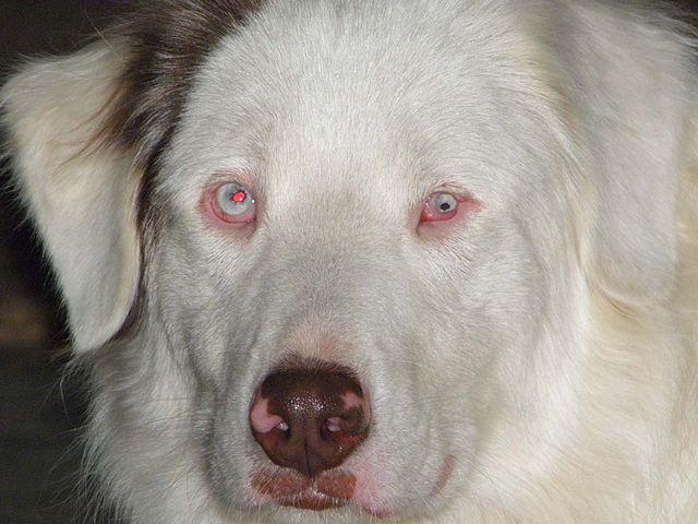 White Dog With Blue Eyes Deaf