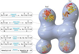 Fatty acid synthase - FAS 'head-to-tail' model with positions of polypeptides, three catalytic domains and their corresponding reactions, visualization by Kosi Gramatikoff.