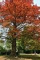 Fagus sylvatica 'Atropunicea' - Mariemont 2.jpg
