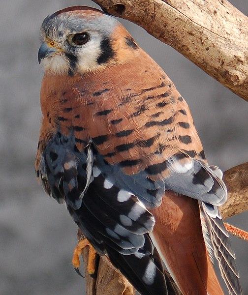 Ficheiro:Falco sparverius Flickr.jpg