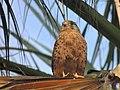 Falco tinnunculus canariensis (23768658748).jpg