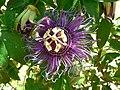 Fale - Giardini Botanici Hanbury in Ventimiglia - 494.jpg