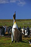 Falkland Islands Penguins 48.jpg