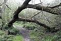 Fallen Willow in Fox Covert - geograph.org.uk - 778265.jpg