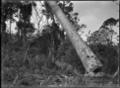 Falling kauri tree. ATLIB 283165.png