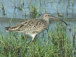 Far Eastern curlew - Image: Far Eastern Curlew cairns RWD2