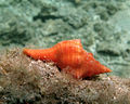Fasciolariidae sp..jpg