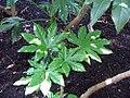 Fatsia japonica 3zz.jpg