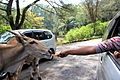 Feeding the Animal at Taman Safari.JPG