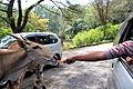 Feeding the Animal at Taman Safari.JPG