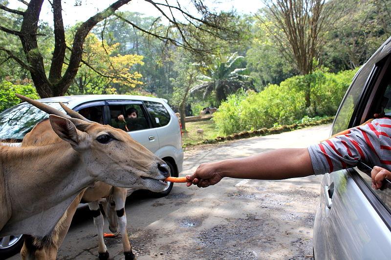 Berkas:Feeding the Animal at Taman Safari.JPG