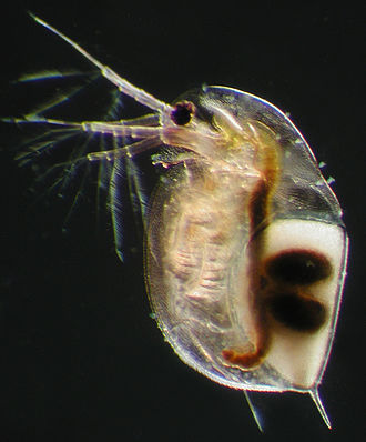 "Ephippia - Female Daphnia longispina carrying a resting egg (=""ephippium""). The two dark, oval spots on the ephippium mark the places where the two resting eggs are located. The female was collected in a rock pool in South-Western Finland. The animal is about 2 mm long."