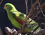 Female Red-Winged Parrot.jpg