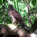 Female Shikra (Accipiter badius).jpg