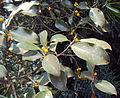 Ficus Microcarpa 02.JPG