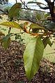 Ficus drupacea 09.JPG