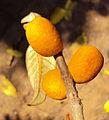 Ficus drupacea 16.JPG