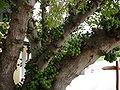 Ficus lutea 0005.jpg