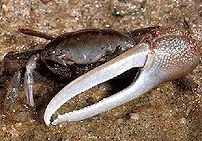 Fiddler crab (Uca pugnax) from NOAA CSC. :en:d...