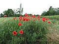 Field poppy - Papaver rhoeas - panoramio.jpg