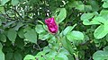 First Red Rose Bud of the Year (8398395082).jpg