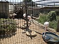 Flamingos at Amazon World Zoo.JPG