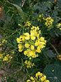Fleurs de Jardin (1)Moutarde des champs.jpg
