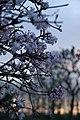 Fleurs et coucher de soleil (Marckolsheim).jpg