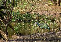 Flickr - Dario Sanches - CORÓ-CORÓ ( Mesembrinibis cayennensis).jpg