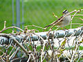 Flickr - Furryscaly - White-Crowned Sparrow.jpg