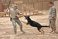 Flickr - The U.S. Army - Training a military working dog.jpg