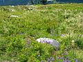 Flickr - brewbooks - Granite Mountain Wildflowers.jpg