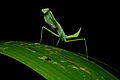 Flickr - ggallice - Mantid.jpg