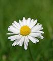 Flickr - law keven - Pushing Daisies....jpg