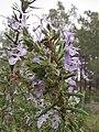 Flora de la Sierra Calderona (Serra, València)13.jpg