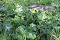 Flora della Sardegna 206 (1).JPG