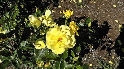 Floribunda - Sunsprite 3 (cr).JPG
