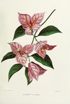 Flower-bougainvillia-garba.png