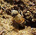 Flower Fly. Eristalinus taeniops. Syrphidae. Diptera. - Flickr - gailhampshire.jpg