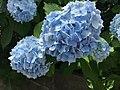 Flowers of Hydrangea macrophylla 20200612.jpg
