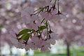 Flowers of Japanese cherry.jpg