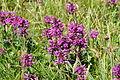 Flowers on Mullion Cliff (8011).jpg
